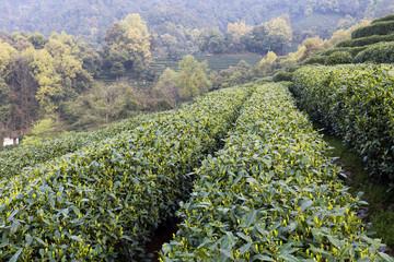 Green tea garden on the hill,china