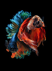 Poster de jardin Poisson Siamese fighting fish