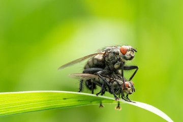 Flies mating close-up view