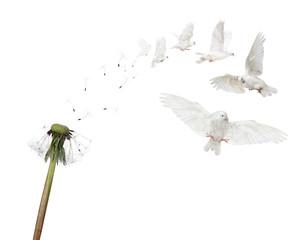 semi boken isolated dandelion and six flying doves