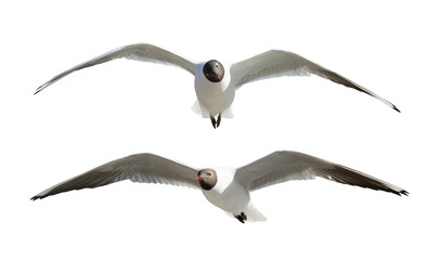 two flying black-headed gulls isolated on white