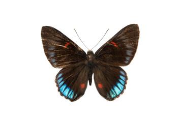 butterfly Necyra duellona