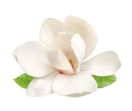 tender white magnolia flower isolated
