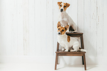 Horizontal shot of two jack russell terrier dogs sit on chair, listen to host together attentively, isolated over white wooden wall with blank space. Animals concept