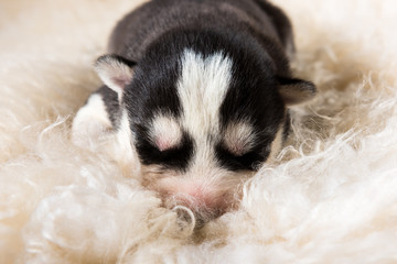 Cute siberian husky puppies sleeping on white