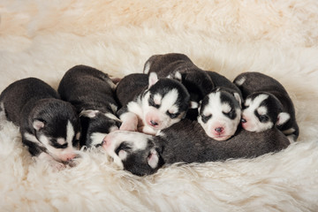Lovely Newborn Husky Puppies
