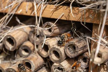 Hôtel à inscecte - accouplement d'abeilles sauvages