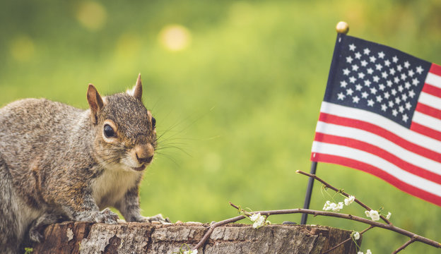 Gray Squirrel poses near USA flag for Memorial Day, Veteran's Day, 4th of July, Labor Day