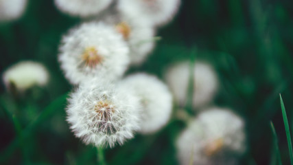 Beautiful spring green background with dandelions as desktop Wallpaper or template with copy space