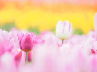 かわいいピンクのチューリップ
