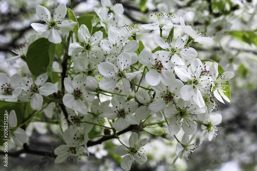 White flowering pear tree early spring close up of flowers stock white flowering pear tree early spring close up of flowers mightylinksfo