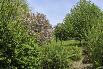 Spring trees in the park, Blooming pink crabapple tree. Green grass and bright sunshine