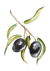 Black olives on branch with leaves. Hand drawn watercolor illustration  isolated on a white background.