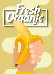 hand holding fresh organic fruit banana vector illustration