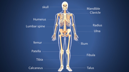 3d illustration of  human skeleton anatomy