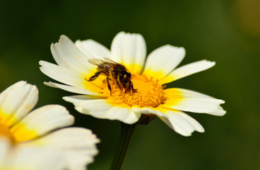 Bee collecting pollen inside  wild daisy in full splendor
