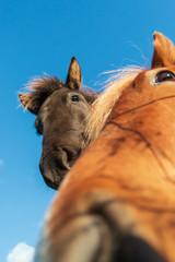 Lustige Nahaufnahme eines Ponys mit Blick auf die Kamera (Fokus auf das Auge)