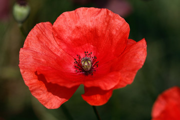 Red papaver rhoeas (red poppy)  flower on the summer field