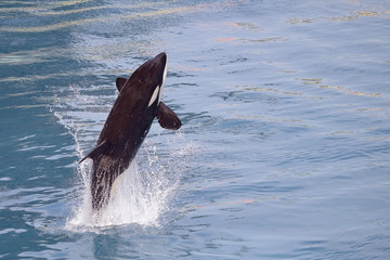 Wall Mural - Killer whale (Orcinus orca) jumping out of  blue water viewed from back