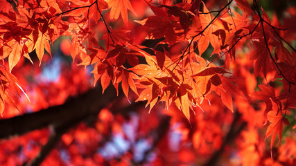 Maple leaf red in autumn at lake Kawaguchi, Japan