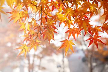 Maple leaf in autumn at lake Kawaguchi, Japan