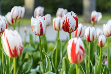 bi color white and red tulips, background of tulips.
