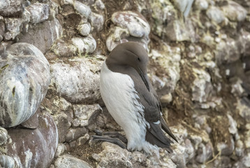 Common Guillemot, on the edge of a cliff, close up
