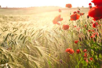 Wild red summer poppies in wheat field.