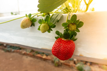 Hydroponic strawberry farm. Hydroponics method of growing plants strawberry, in water, without soil. Hydroponic lettuces in hydroponic pipe