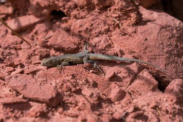 Lizard on red rocks in desert side angle