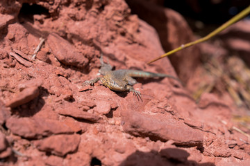 Lizard on red rocks in desert - front angle
