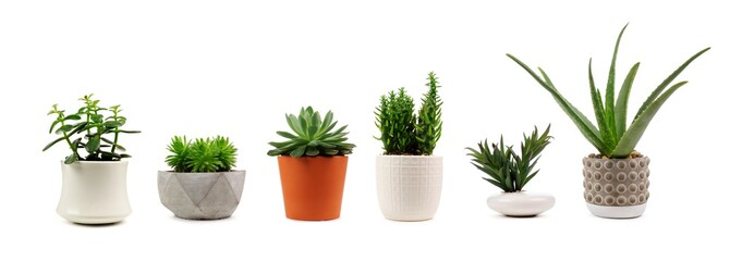 Photo sur cadre textile Vegetal Group of various indoor cacti and succulent plants in pots isolated on a white background