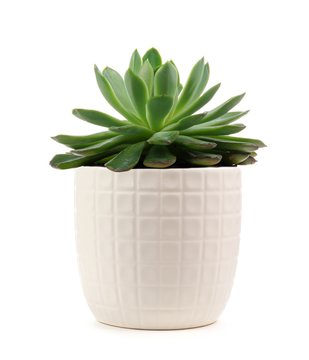 Small indoor succulent plant in white pot isolated on a white background