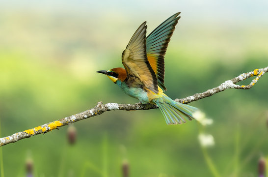 Merops apiaster bee-eater