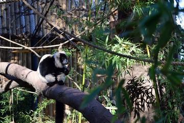 lemur mirando fijo zoo met