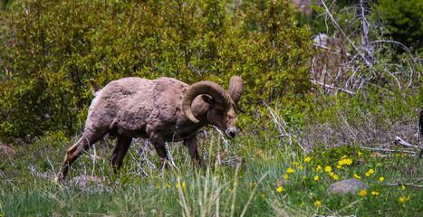 Big Horn Sheep 1