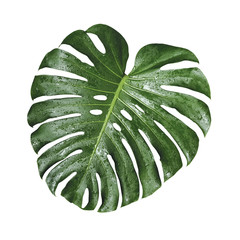 Monstera deliciosa tropical leaf and water drop isolated on white background with clipping path