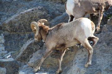 Mountain Goat Scaling Wall, Jasper National Park, Alberta