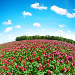 Field of flowering crimson clovers (Trifolium incarnatum) in spring rural landscape. Fisheye shot.