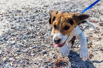 Beaglewelpe am Strand