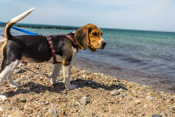 Beagle am strand