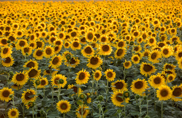 Sunflowers field near Arles  in Provence, France