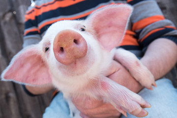 Pig's snout close up. White pig with black spots of breed pietren sits on hands of farmer. Selective focus