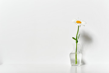 one chamomile flower in a vase on a table by the wall, white background