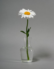 one chamomile flower in a vase on gray background