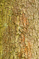 Tree bark texture, as natural background