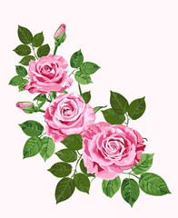 Pink roses isolated on the white