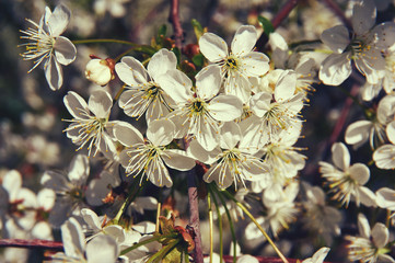 Flowering cherry in spring with white flowers. Close-up. Abstract background.