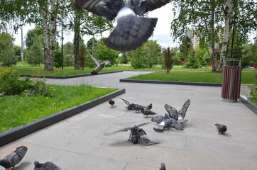 picture of a flying flock of pigeons in Izhevsk