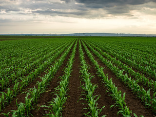 Green corn maize plants on a field. Agricultural landscape Wall mural